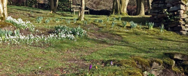 Snow drops at Robin Hood Cottage