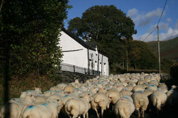 Sheep passing Wayside, Snowdonia